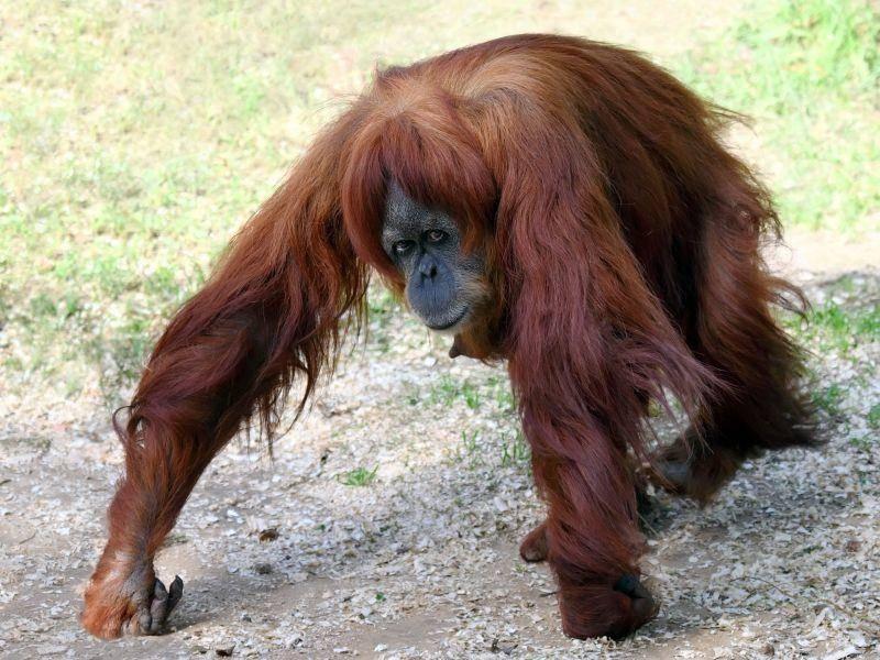 Orang-Utan: Sonst eher in den Bäumen unterwegs — Bild: Shutterstock / LeonP