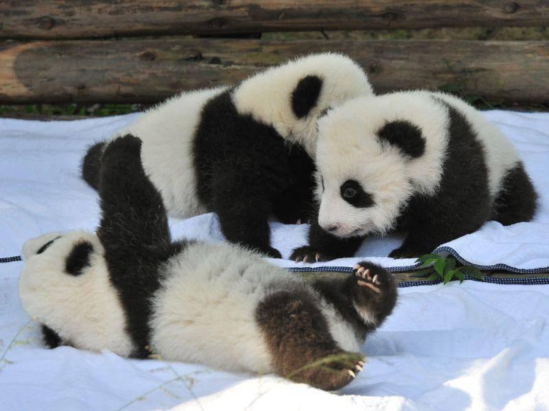 Niedlicher Haufen: Kleine, tapsige Pandabären — Bild: Shutterstock / Hung Chung Chih
