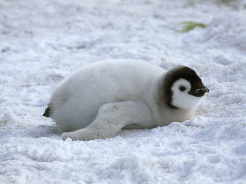 Pinguinbaby: Ups, ausgerutscht — Bild: Shutterstock / Gentoo Multimedia Limited