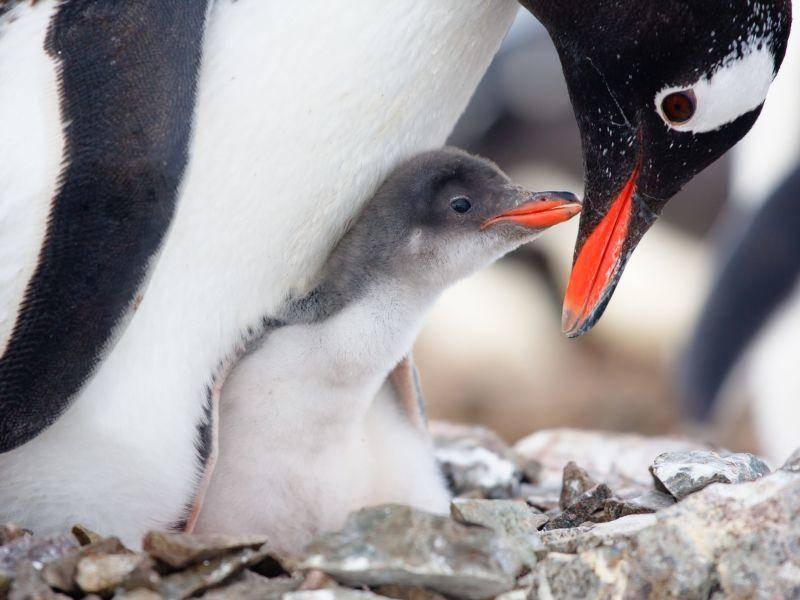 Pinguinmütter passen gut auf ihre Kleinen auf — Bild: Shutterstock / Volodymyr Goinyk