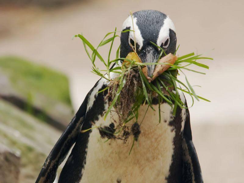 Fleißig: Pinguin bei der Nahrungsbeschaffung — Bild: Shutterstock / Eric Gevaert