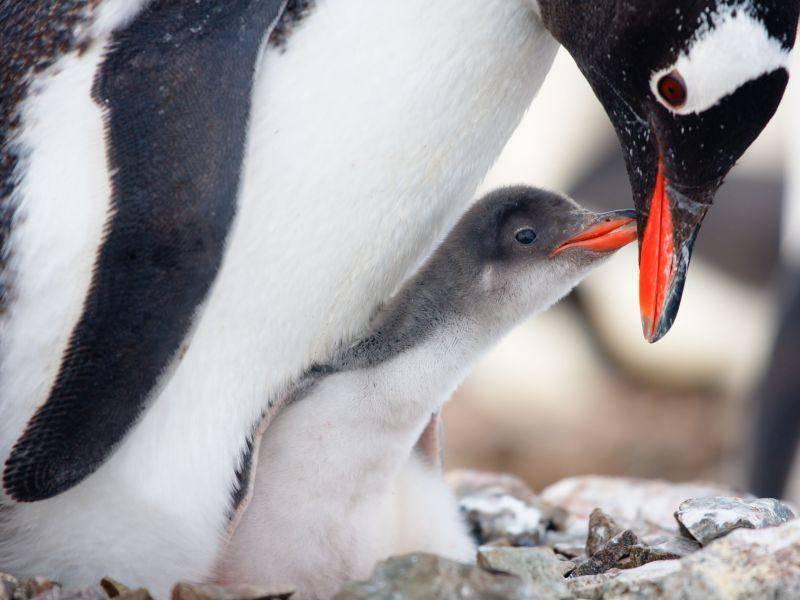 Pinguinmutter zeigt ihrem Küken die große weite Welt — Bild: Shutterstock / Volodymyr Goinyk