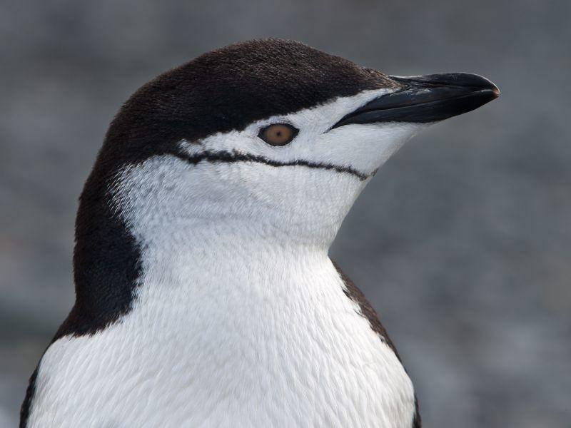 So schön von Nahem: Pinguin — Bild: Shutterstock / Ethan Daniels