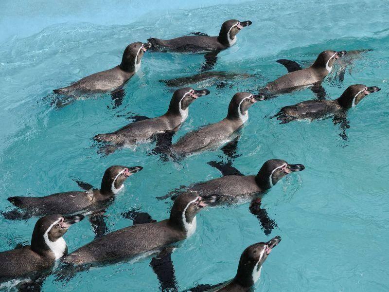Der Pinguin mag außerdem Schwimmausflüge — besonders in der Gruppe— Bild: Shutterstock / TOMO
