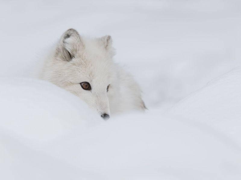 Huch wo ist er denn? Polarfuchs nimmt ein Schneebad — Bild: Shutterstock / Andrew Astbury