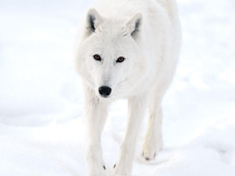 Polarwolf auf einem verschneiten Streifzug — Bild: Shutterstock / Eduard Kyslynskyy