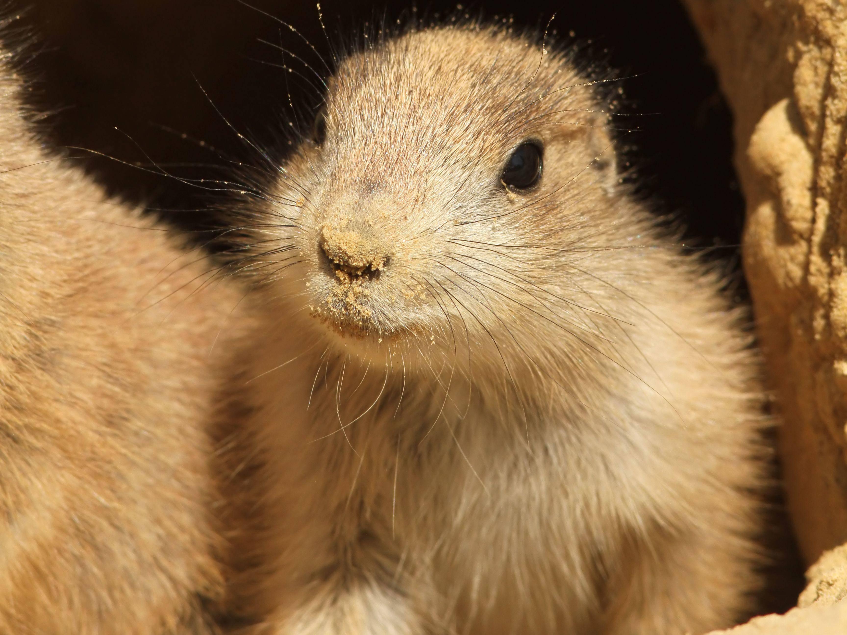 Ein junger Präriehund guckt lustig aus der Wäsche - äh aus der Höhle — Bild: Shutterstock / Henk Bentlage