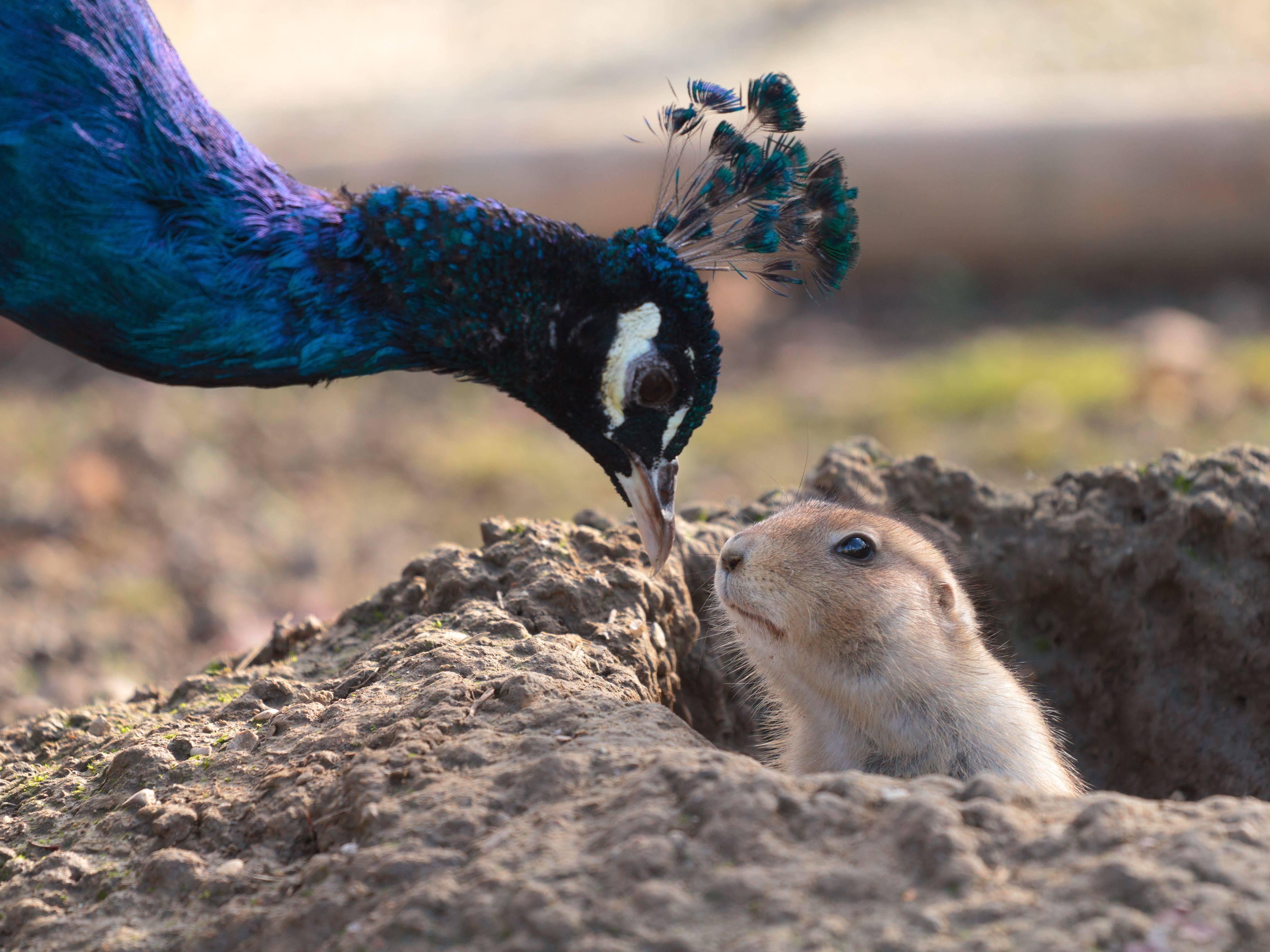"""Besuch für Präriehunde:""""Huch der ist ja bunt!"""" — Bild: Shutterstock / Tomislav Pinter"""