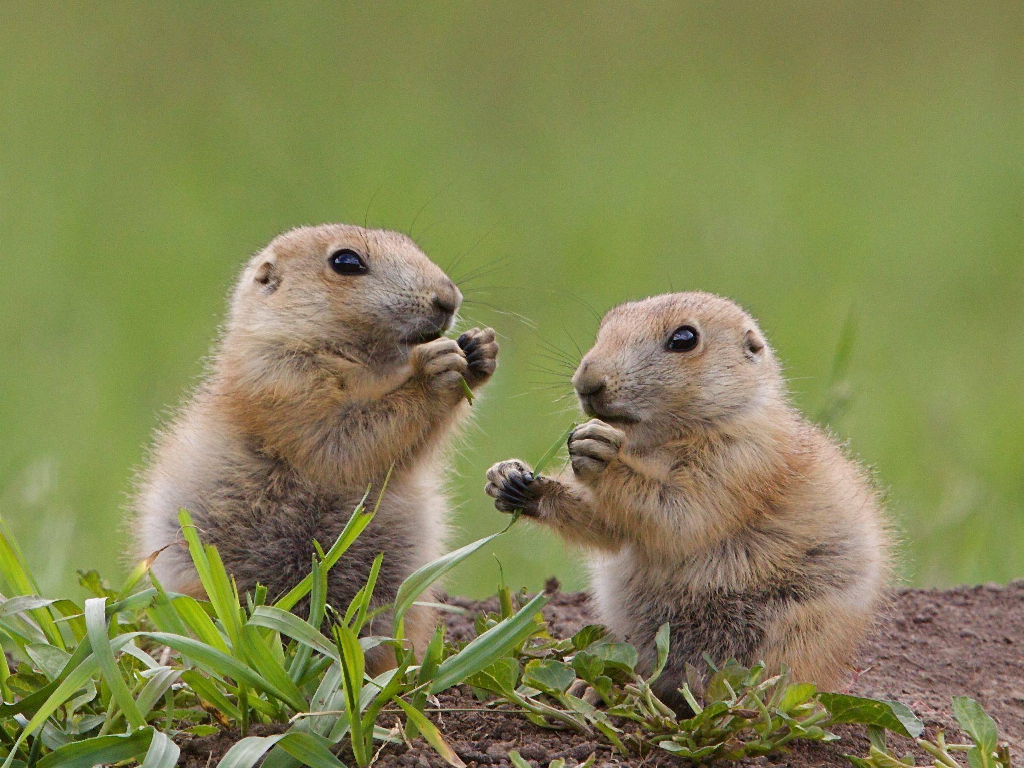 Lieblingsessen der Präriehunde: Gräser — Bild: Shutterstock / Tom Reichner