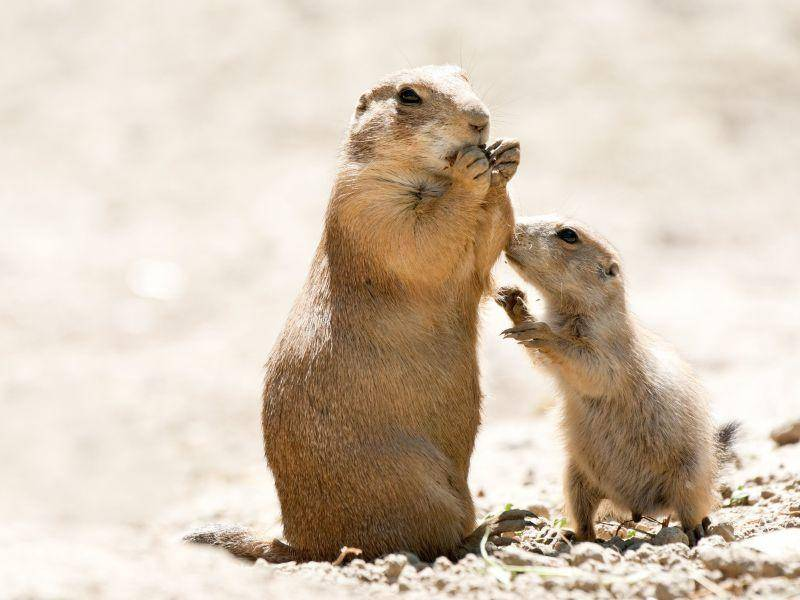 "Präriehundmutter mit Sprössling: ""Kann ich auch was, Mama?"" — Bild: Shutterstock / dean bertoncelj"
