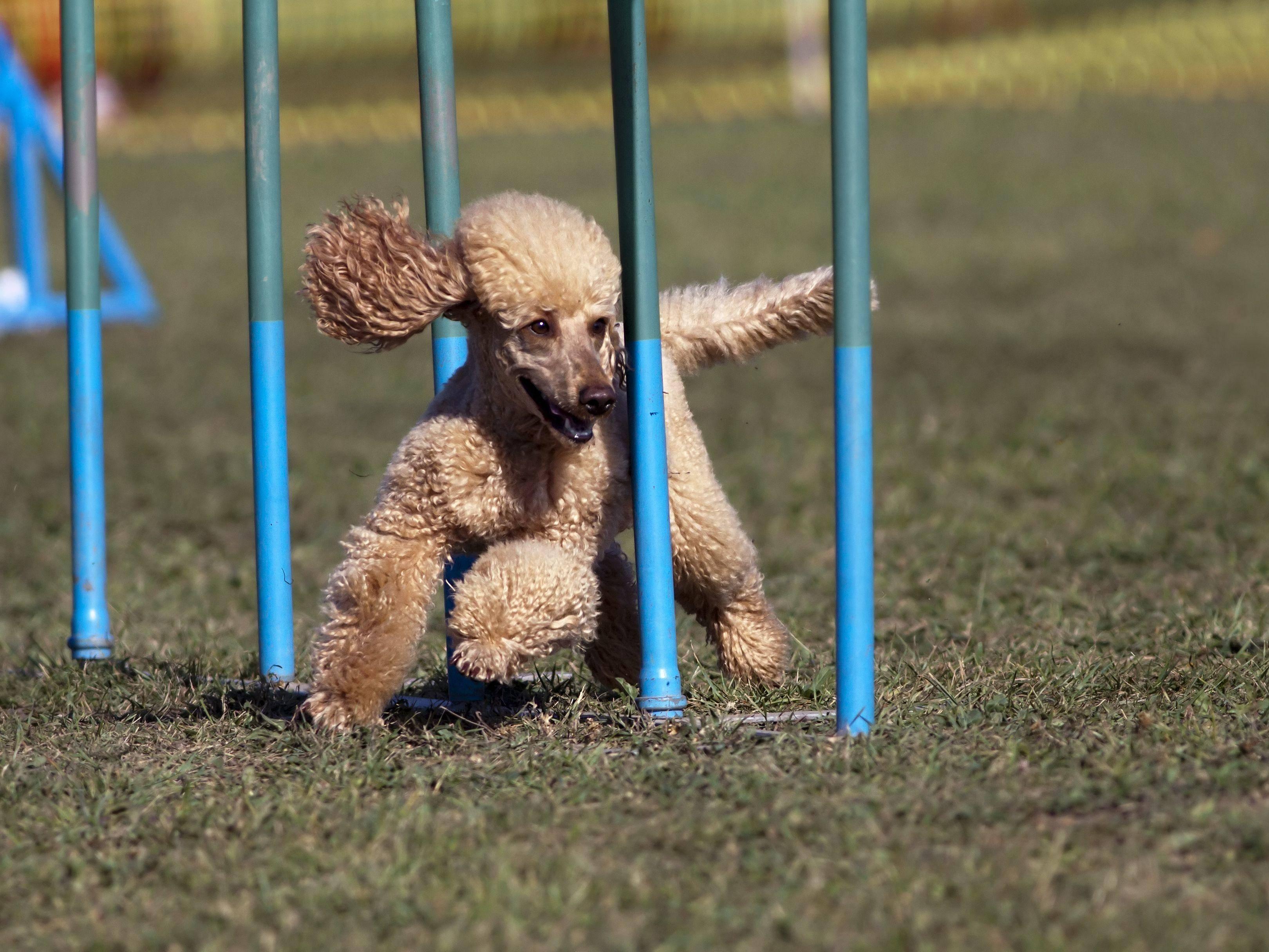Wichtig beim Agility-Hundeslalom: Keine Stange auslassen — Bild: Shutterstock / Reddogs