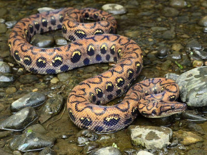 Hübsch gemustertes Urwald-Reptil: Die Regenbogenboa — Bild: Shutterstock / Patrick K. Campbell