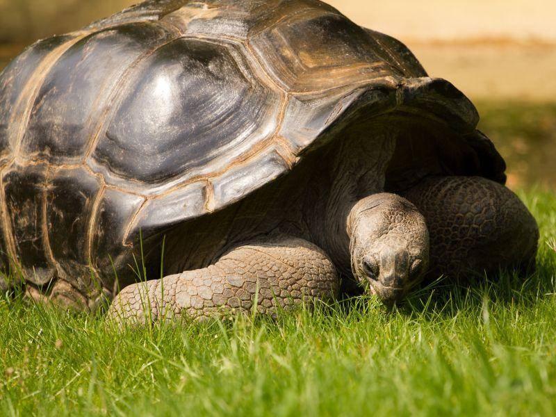 Galápagos-Riesenschildkröte: Kann über 100 Jahre alt werden — Bild: Shutterstock / Thomas Ash