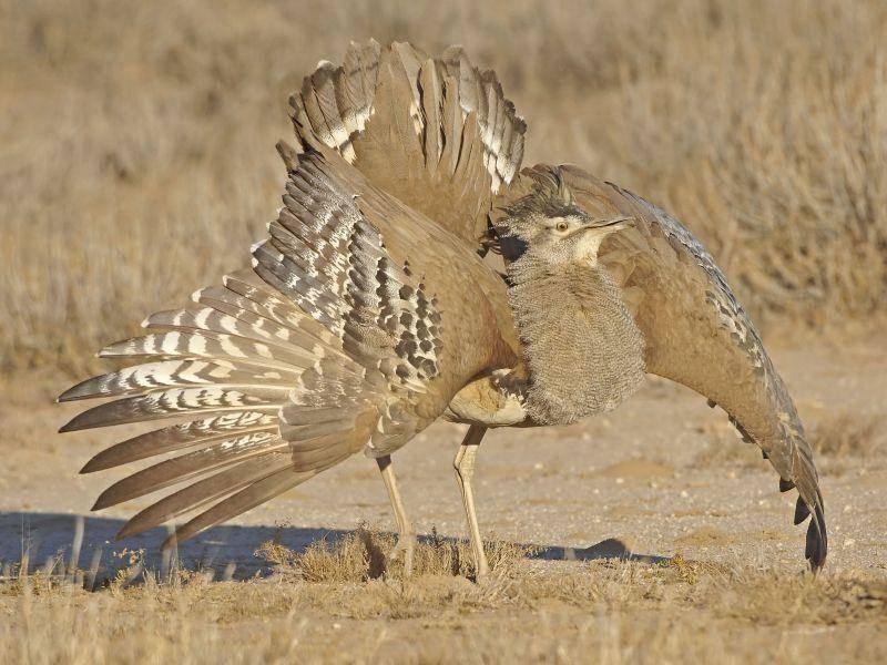 Riesentrappe: Größter flugfähiger Vogel mit 22 kg Maximalgewicht — Bild: Shutterstock / Braam Collins