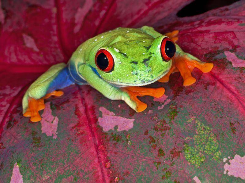 Rotaugenlaubfrosch: Schöner Frosch, lustiger Name — Bild: Shutterstock / Dean Pennala