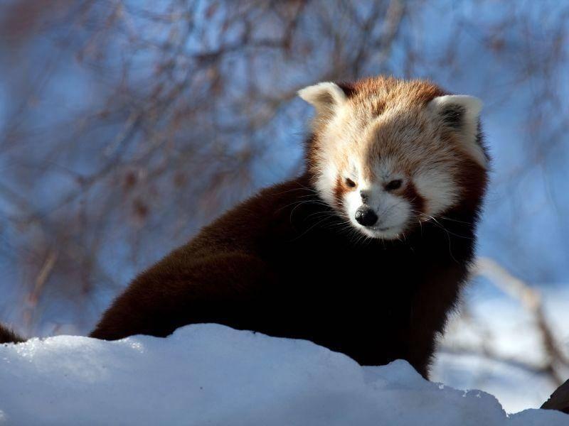 """Roter Panda: """"Oh nein, schon wieder Schneeschippen..."""" — Bild: Shutterstock / Gail Johnson"""