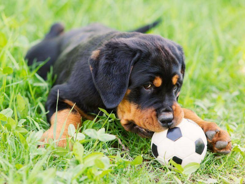 """""""Hab den Ball!"""" — Rottweilerhundebaby beim Spielen — Bild: Shutterstock / Roman Zhuravlev"""