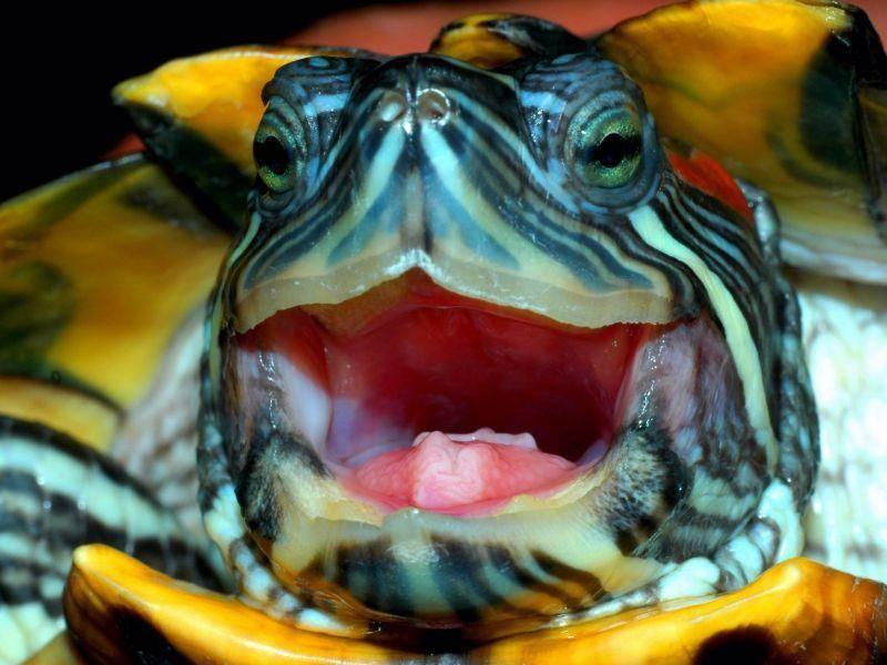 Schönes Fotomodel: Bunte Schildkröte in Nahaufnahme — Bild: Shutterstock / Yuriy Korchagin