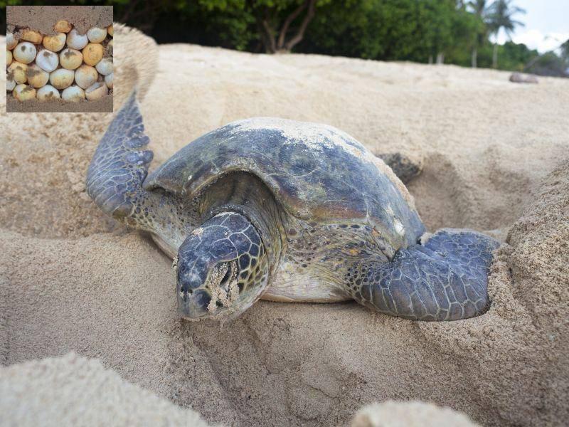 Die Eier im Sand hatte die Schildkröte versteckt — lagen Sie richtig beim raten? — Bild: Shutterstock / David Evison