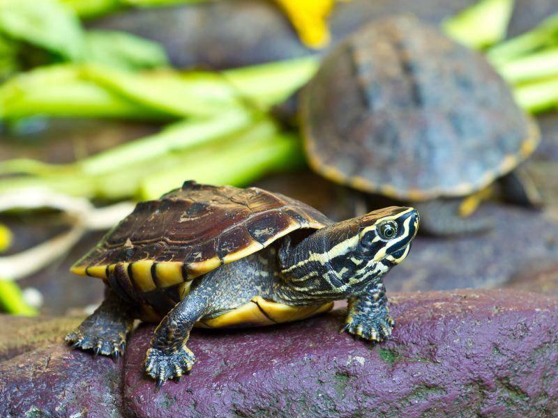 """Gelbbauch-Schmuckschildkröte: Gilt als """"Die typische Wasserschildkröte"""" — Bild: Shutterstock / kai4107"""