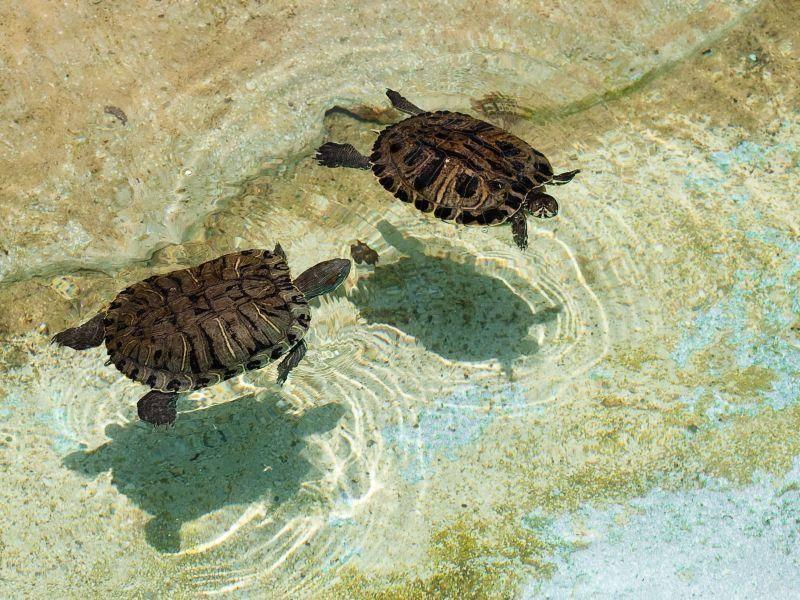 Toller Anblick: Zwei Wasserschildkröten nehmen ein Bad im Sonnenschein — Bild: Shutterstock / Aaron Amat