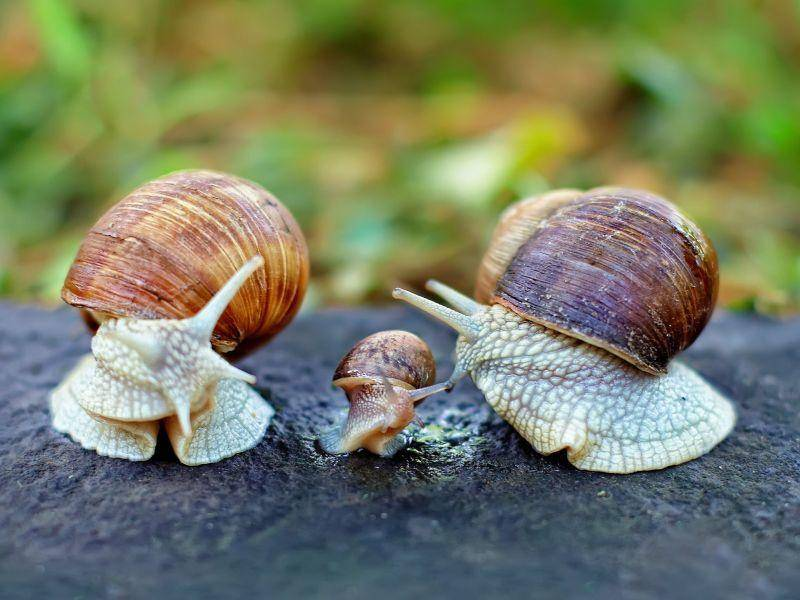 Schneckenfamilie: Mama, Papa und Sohnemann? — Bild: Shutterstock / Olesia Bilkei