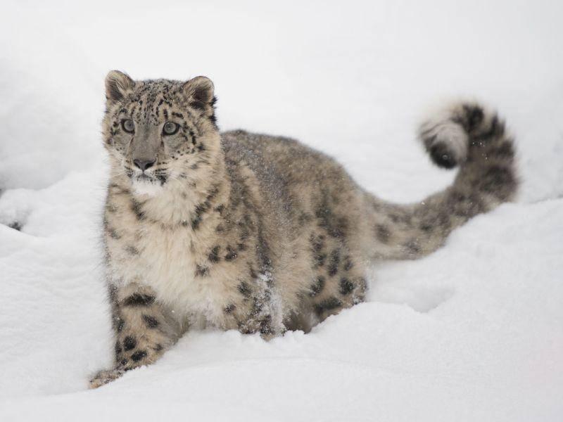 Schneeleopard: Trägt ein besonders schönes gepunktetes Fell — Bild: Shutterstock / Jeannette Katzir Photog