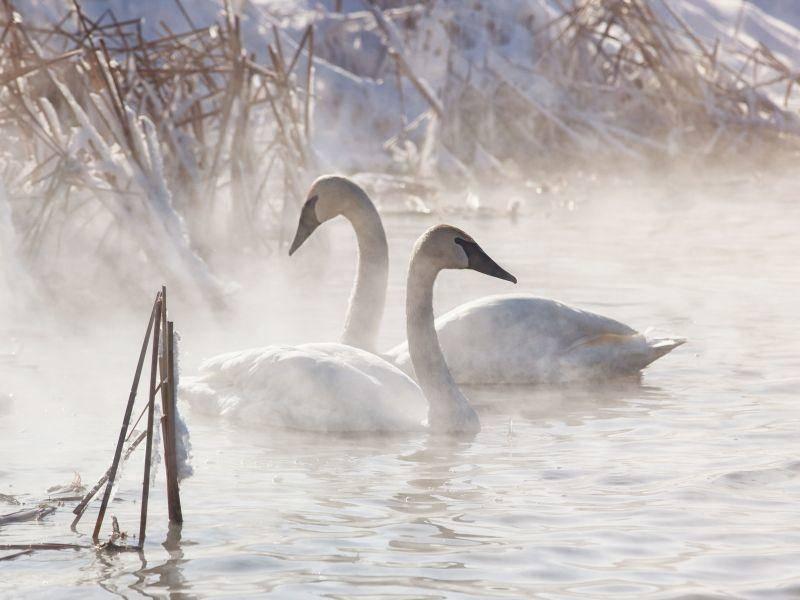 Schnee, Schwäne und ein See: Bildschön — Bild: Shutterstock / Critterbiz