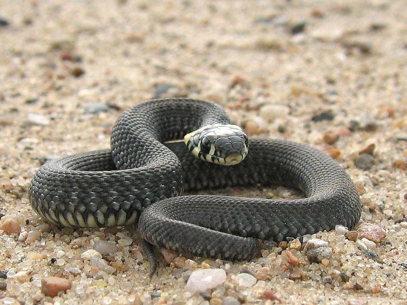 Schwarze Mamba: Eine der giftigsten Schlangen Afrikas — Bild: Shutterstock / Gilmanshin