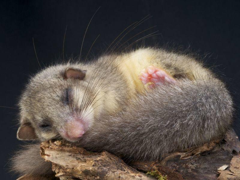 Ein müder Siebenschläfer geht seinem Hobby nach — Bild: Shutterstock / reptiles4all