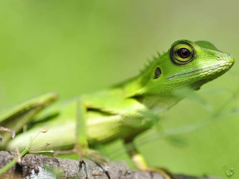 Smaragdeidechse: Träumt schon im Winter vom Sonnenbaden — Bild: Shutterstock / WIBOON WIRATTHANAPHAN