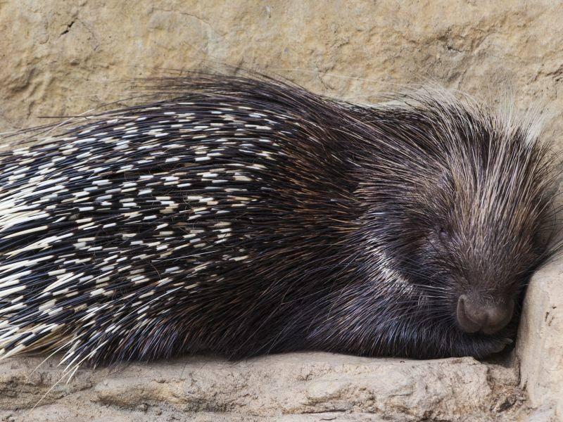Träumt sicher schön: Ein müdes Stachelschwein im Tiefschlaf — Bild: Shutterstock / FAUP