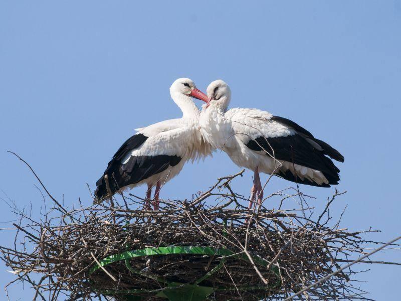 Storch: Im Frühling endlich wieder da — Bild: Shutterstock / iliuta goean