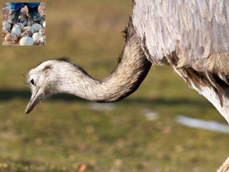 Und nun zur Auflösung: Die großen Eier mit der dicken Schale gehören dem Vogelstrauß — Bild: Shutterstock / cRutigliano