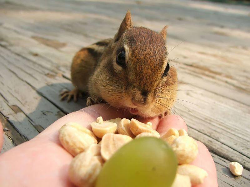 Das Streifenhörnchen: Immer am Essen — Bild: Shutterstock / Margaret M Stewart