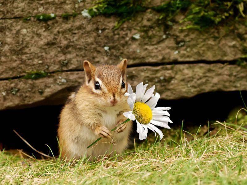 Streifenhörnchen mit Gänseblümchen — Kleines Geschenk gefällig? — Bild: Shutterstock / Margaret M Stewart