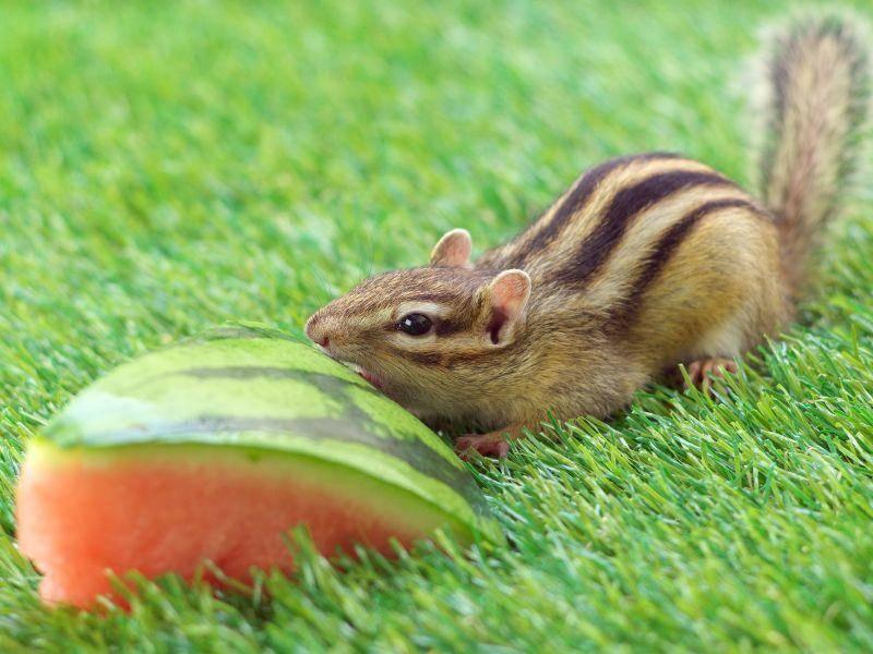 Auch Obst finden Streifenhörnchen klasse — Bild: Shutterstock / stock_shot