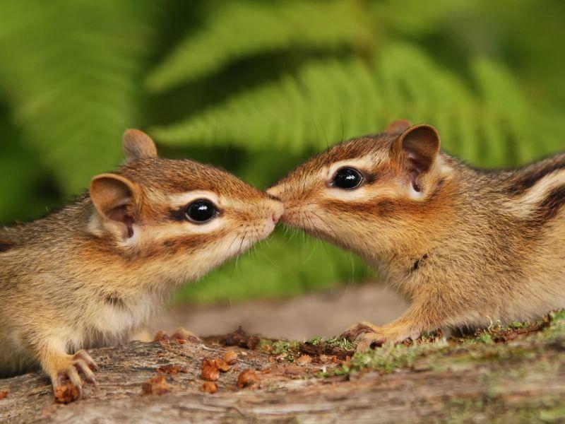 Streifenhörnchen-Knutschi — Bild: Shutterstock / Margaret M Stewart