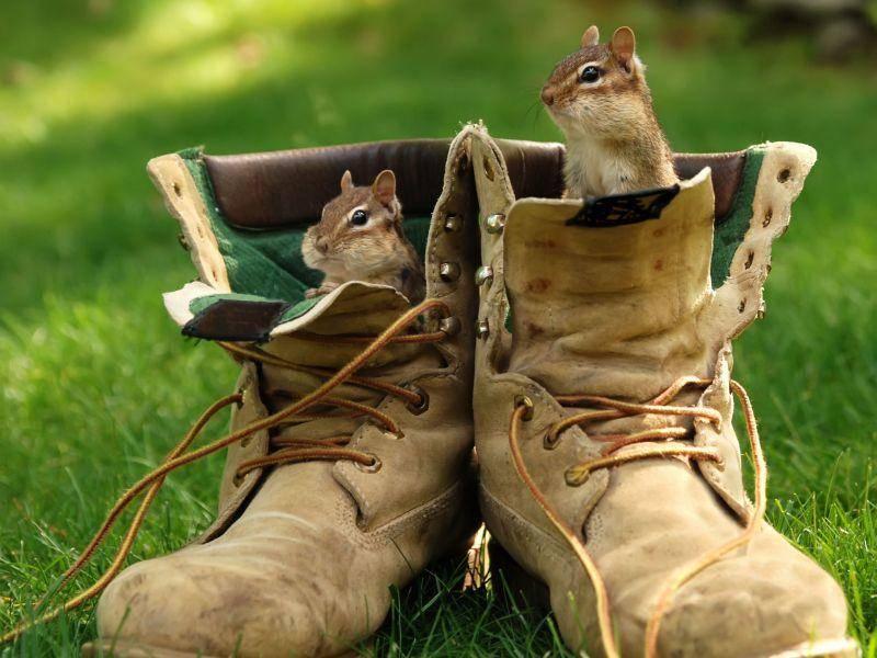 Streifenhörnchen im Schuh: Gemütlicher Platz — Bild: Shutterstock / Margaret M Stewart