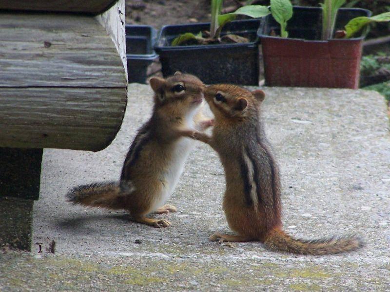 Und auch Tanzen ist kein Problem für Streifenhörnchen — Bild: Shutterstock / Dale Wagler