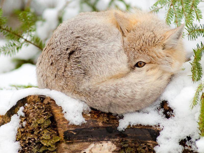 Schlauer Swiftfusch: Schon wieder Schnee? Ich guck einfach nicht hin! — Bild: Shutterstock / Matthew Jacques