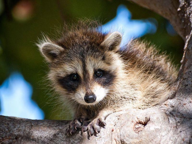 Waschbärbaby: Das kleinste Tierkind in unserer Bärenrunde — Bild: Shutterstock / Heiko Kiera