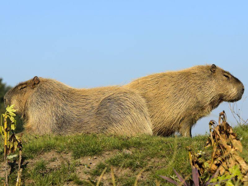 Wasserschwein: Ganz schön schweres Nagetier mit 45 kg — Bild: Shutterstock / stephen