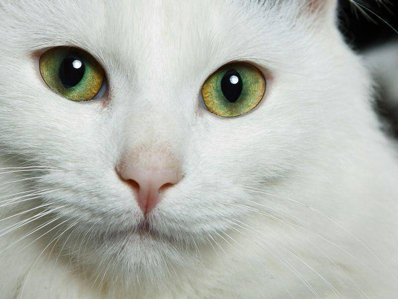 Ganz schön nah: Weiße Katze mit grünen Augen — Bild: Shutterstock / Isidro Dias