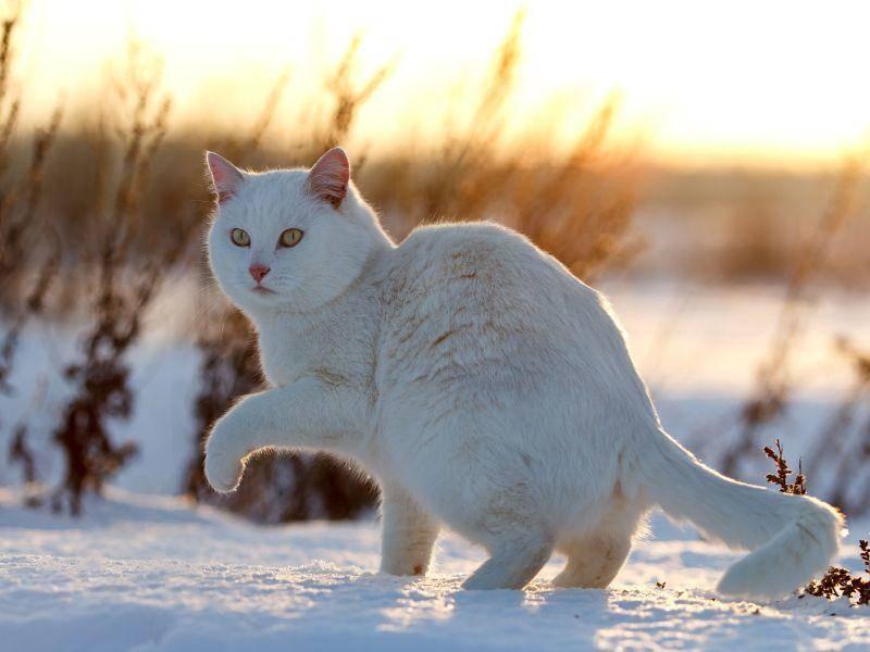 Schnee, weiße Katze und Sonnenuntergang: Was für ein schönes Bild — Bild: Shutterstock / DragoNika