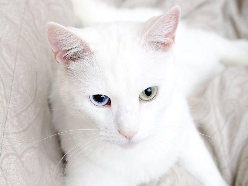 Schneeweiße Katze mit zwei verschiedenen Augenfarben — Bild: Shutterstock / DmitriMaruta