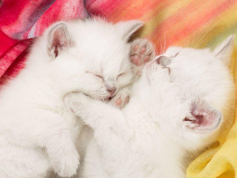 Ganz klein und superniedlich: Weiße Katzenbabys — Bild: Shutterstock / Kuzmin