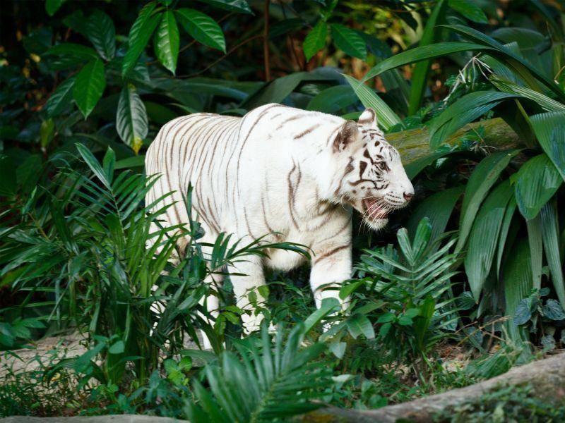 Weißer Tiger: Den möchte man lieber nur von Weitem sehen — Bild: Shutterstock / f9photos