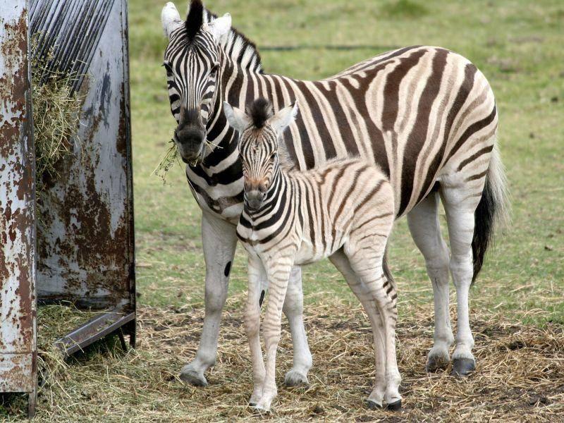 Mutter und Zebrakind im Streifenkostüm — Bild: Shutterstock / Geoffrey Whiting