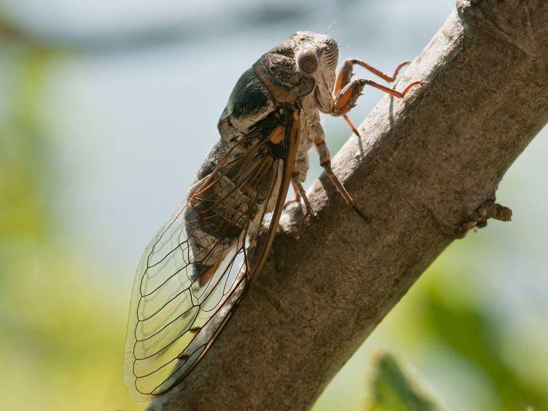Zikade: Um Weibchen anzulocken macht sie einen Mordslärm — Bild: Shutterstock / Smit